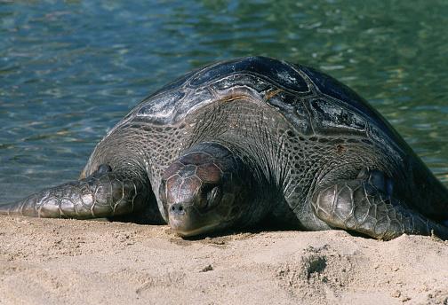 1980-1989「Leatherback Turtle」:スマホ壁紙(14)
