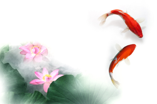 Koi Carp「Digital composite of gold fish and lotus」:スマホ壁紙(18)