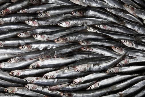 ウェルシュ・コーギー「Sardines」:スマホ壁紙(19)