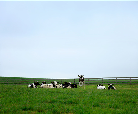 Grazing「content dairy cows in farm pasture」:スマホ壁紙(9)