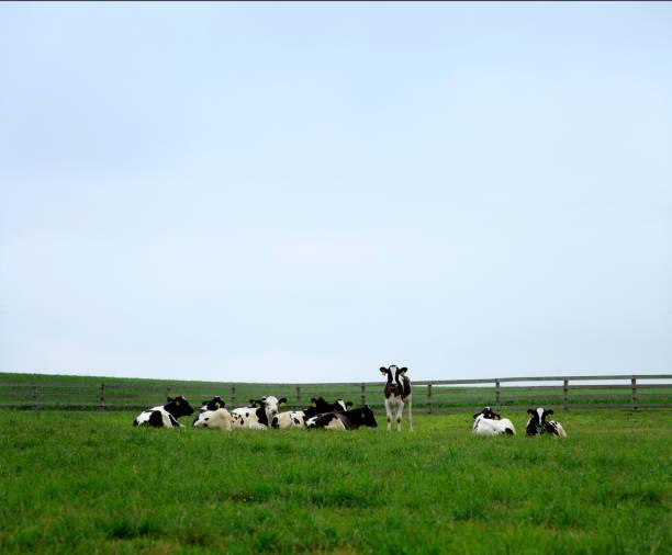 content dairy cows in farm pasture:スマホ壁紙(壁紙.com)