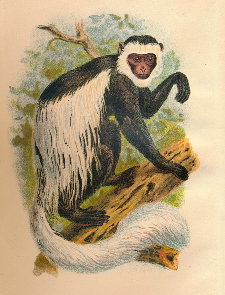 Animal Body Part「The White-Tailed Guereza」:写真・画像(5)[壁紙.com]