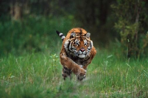 Tiger「Wet Siberian Tiger Charging」:スマホ壁紙(9)