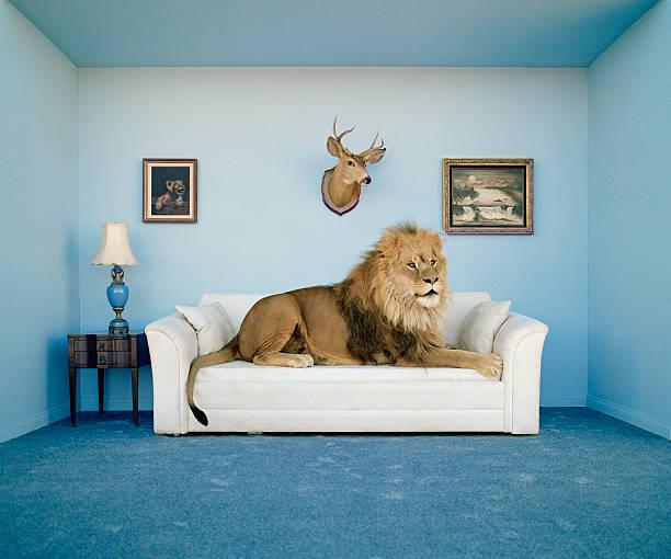 Lion lying on couch, side view:スマホ壁紙(壁紙.com)