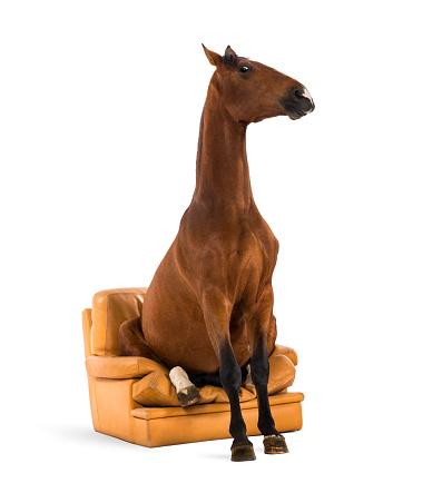 Horse「Andalusian horse sitting on an armchair」:スマホ壁紙(7)