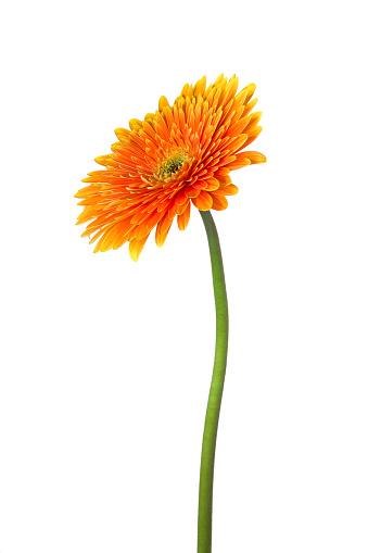 Plant Stem「gerbera」:スマホ壁紙(18)