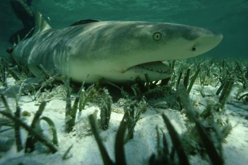 Shallow「lemon shark: negaprion brevirostris  female in shallow lagoo n to give birth. caribbean」:スマホ壁紙(12)