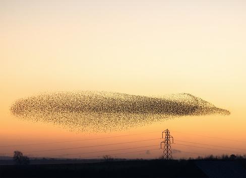 Flock Of Birds「Murmuration of Starlings at dusk」:スマホ壁紙(19)