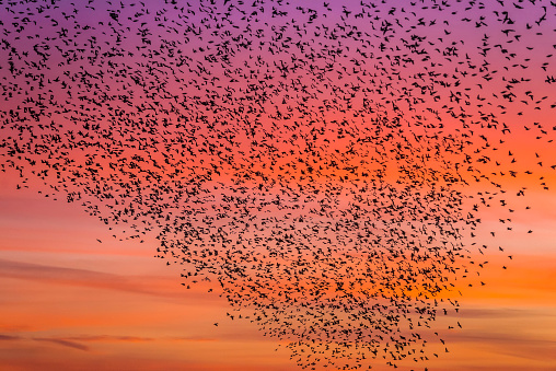 Flock Of Birds「Murmuration of starlings at dusk, RSPB Reserve Minsmere, Suffolk, England」:スマホ壁紙(3)