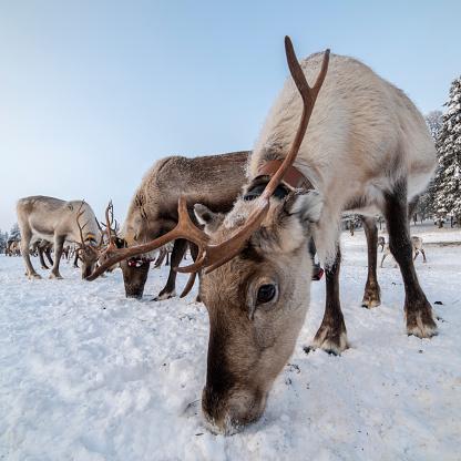 reindeer「Reindeer grazing in a farm, Lapland in winter, Finland」:スマホ壁紙(17)
