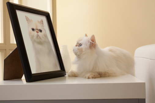 Pets「Persian Kitten looking at Cat Portrait」:スマホ壁紙(12)
