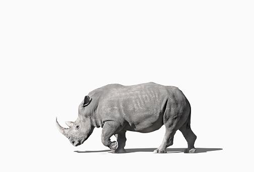 Walking「Rhinoceros walking in studio」:スマホ壁紙(0)