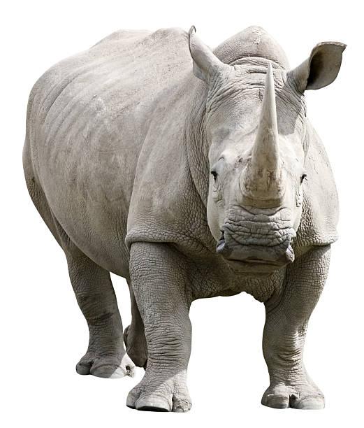Rhinoceros with clipping path on white background:スマホ壁紙(壁紙.com)