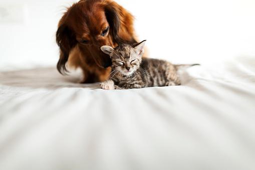 Bonding「Long-haired dachshund and tabby kitten together on bed」:スマホ壁紙(10)