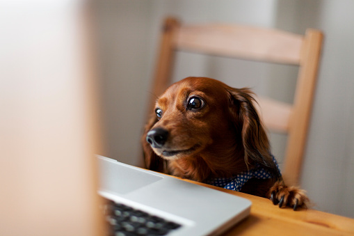 Looking Away「Long-haired dachshund looking at laptop」:スマホ壁紙(13)
