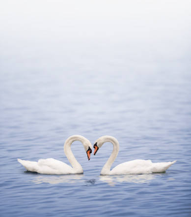 Heart「Swans on a lake happily in love」:スマホ壁紙(19)