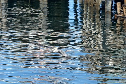 City of Monterey - California「Monterey, a pelican flies from one pier to another.」:スマホ壁紙(5)