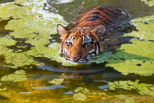 Tiger「Indochinese or Corbett's Tiger In Water」:スマホ壁紙(7)