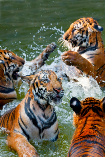 Tiger「Indochinese Corbett's Tigers Playing In Water」:スマホ壁紙(6)