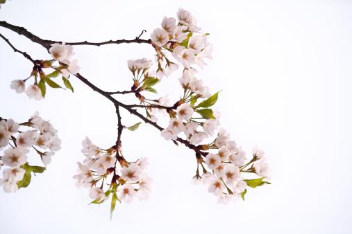 Petal「Cherry blossom」:スマホ壁紙(12)