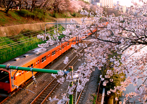 Annual Event「Cherry Blossom and Electric Train」:スマホ壁紙(2)