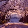 Cherry Blossom Festival壁紙の画像(壁紙.com)