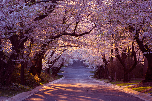 花見「桜の近所」:スマホ壁紙(2)