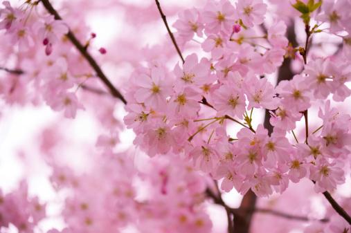 Girly「Cherry blossom」:スマホ壁紙(12)