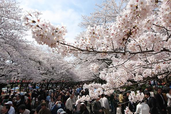 Tokyo - Japan「Cherry Blossoms Bloom In Tokyo」:写真・画像(7)[壁紙.com]