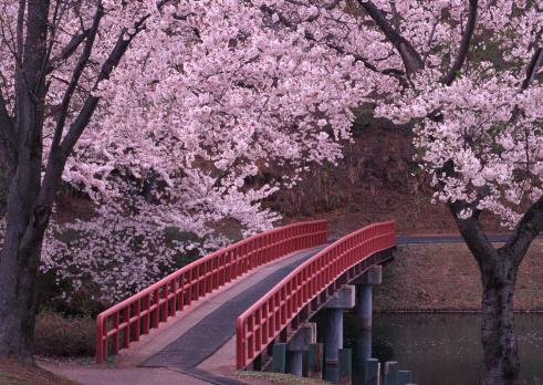 花見「Cherry Blossom and Bridge」:スマホ壁紙(19)