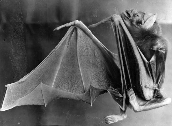 Animal Themes「Vampire Bat」:写真・画像(8)[壁紙.com]