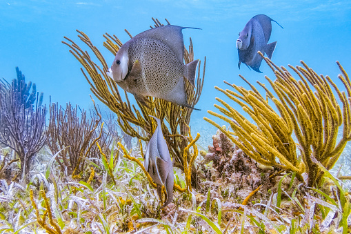 Central America「Sea life on Hol Chan Marine Reserve with French angelfish in Caribbean Sea - Belize Barrier Reef / Ambergris Caye」:スマホ壁紙(7)