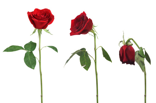 Deterioration「Aging rose」:スマホ壁紙(4)