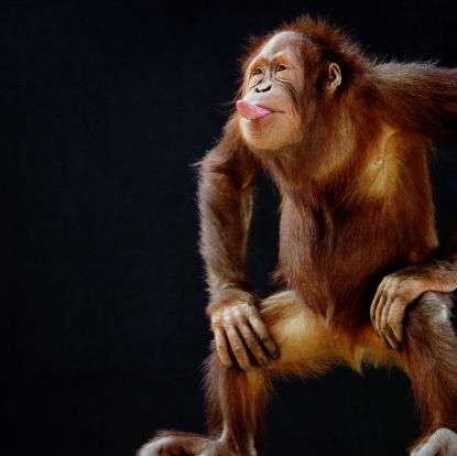 Making A Face「Orangutan (Pongo pygmaeus) sticking out tongue」:スマホ壁紙(4)
