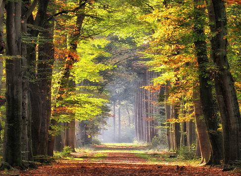 Travel「Autumn colored leaves glowing in sunlight in avenue of beech trees」:スマホ壁紙(18)