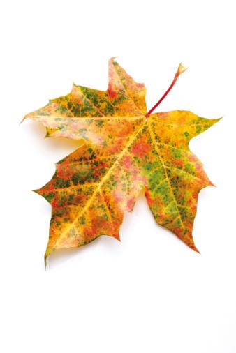 かえでの葉「Autumn colored maple leaf」:スマホ壁紙(10)