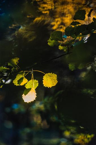 Aspen Tree「Sunbeam on aspen leaves」:スマホ壁紙(3)