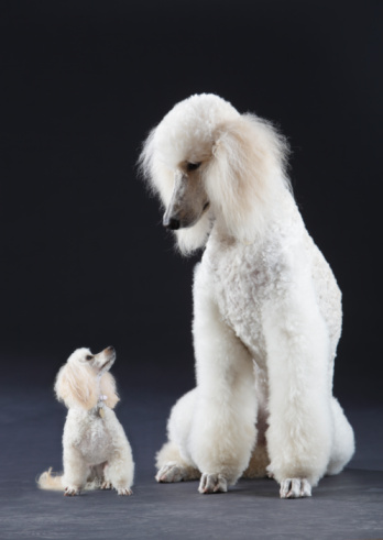 Face To Face「Small and large poodle」:スマホ壁紙(8)