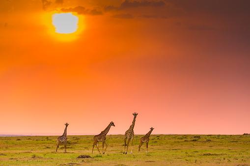 Masai Mara National Reserve「Giraffes at Sunset in Masai Mara」:スマホ壁紙(1)