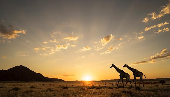 Southern Africa「Giraffes at sunset in Etosha National Park」:スマホ壁紙(18)