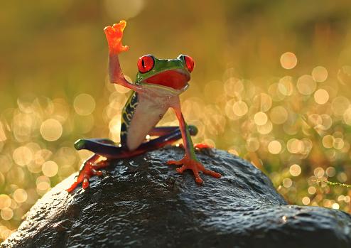 Frog「Tree frog on a rock, Indonesia」:スマホ壁紙(16)