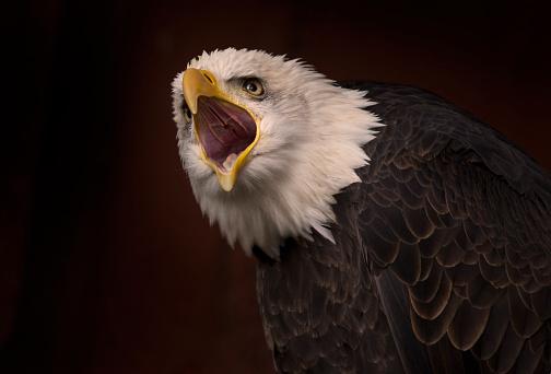 British Columbia「Bald eagle calling」:スマホ壁紙(3)