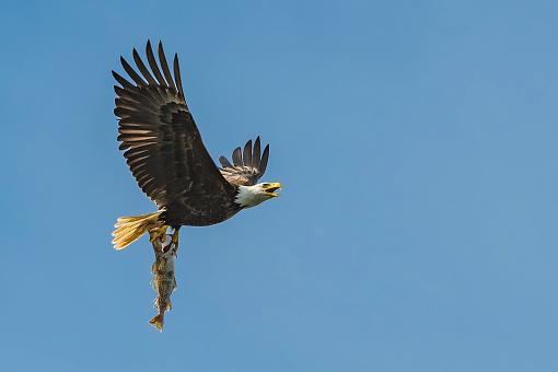 Pollock - Fish「Bald Eagle, Haliaeetus leucocephalus, flying with a Walleye Pollock fish, Theragra chalcogramma. Stephens Passage, Alaska.」:スマホ壁紙(3)