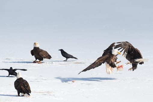 Teenager「Bald eagle fight snow」:スマホ壁紙(4)