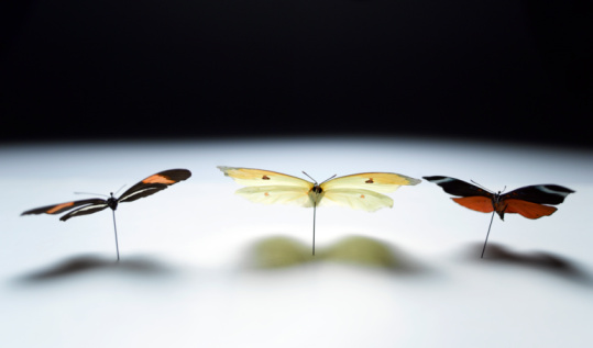 大昔の「Three preserved butterflies fastened to surface with pins」:スマホ壁紙(19)