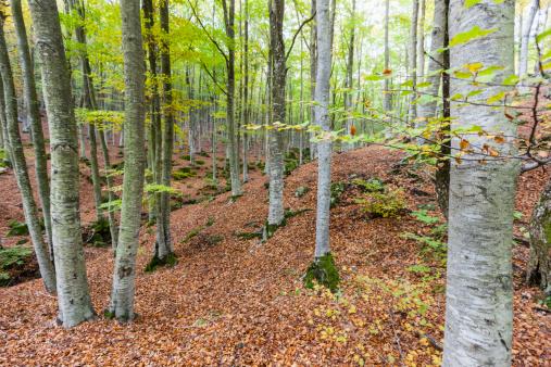 Monte Amiata「Beech Forest」:スマホ壁紙(15)