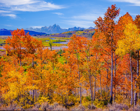 Aspen Tree「Snake River with aspens  in Autumn at Grand Teton National Park」:スマホ壁紙(17)