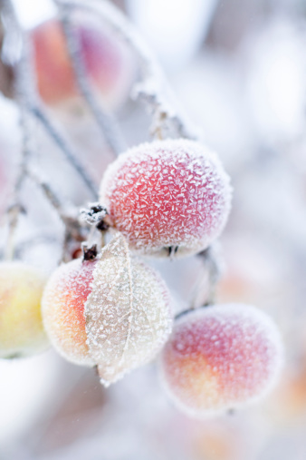 Cold Temperature「Frosted apples on branch」:スマホ壁紙(15)