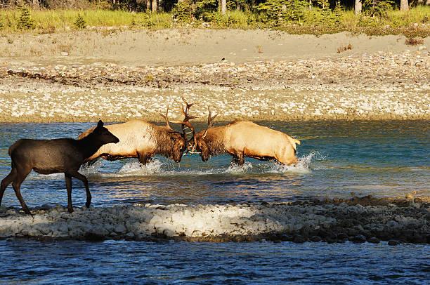 Wrestling Elk (Wapiti):スマホ壁紙(壁紙.com)