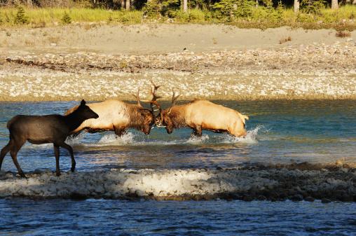 アサバスカ山「Wrestling Elk (Wapiti)」:スマホ壁紙(14)